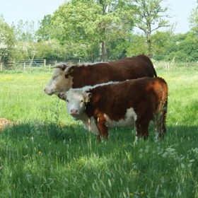 traditional-herefords